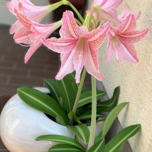 オンシジュームの花茎&母の百か日法要無事終えました