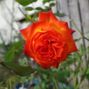 「絵になるスミレ」の寄せ植えと今日のバラ