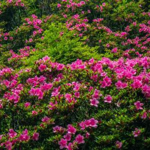 6月2日(火)高幡不動尊-紫陽花の開花状況