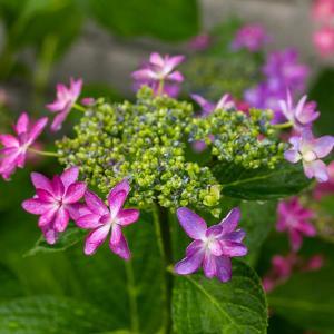 6月13日(土)我が家の紫陽花-小雨降る