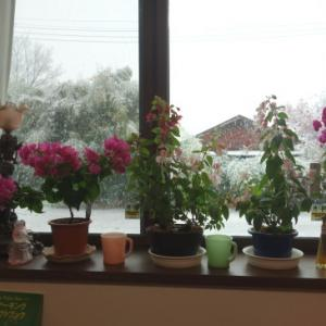 窓際の花とファイヤーキング