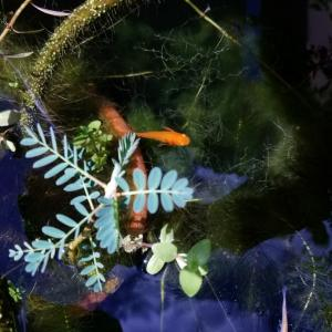 水生植物でめだかに涼
