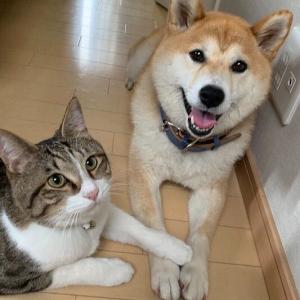 「柴犬と一般的な猫飼いたい」