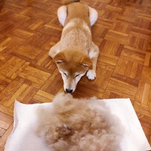 「自分の抜け毛にドン引きしてるイッヌを見てよ」