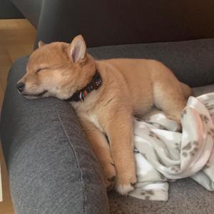 「子イッヌ、寝る」