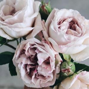 万年売り切れ御免のバラたち。1周目 あかさた