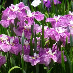 愛知県豊川市 赤塚山公園 「花しょうぶ  その1」