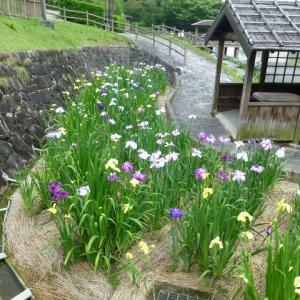 愛知県豊川市 赤塚山公園 「花しょうぶ  その2」