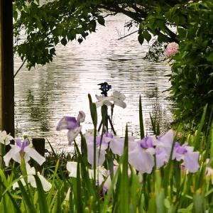 愛知県豊川市 赤塚山公園 「花しょうぶ  その3」