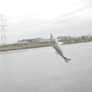 旧江戸川でウナギ狙うも、シーバスで撃沈