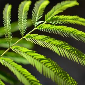 観葉植物でオシャレな暮らし!エバーフレッシュを育てよう!