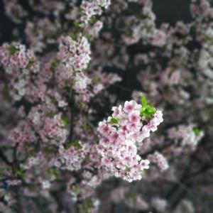 満開の河津桜に、心癒されます♡