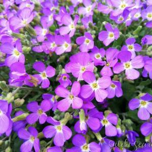 花壇をレイズドベッドにした理由は…/春の宿根小花♡生育記録(右花壇)