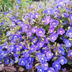 ベロニカ生育記録/宇宙的な花☆ ぐんぐん拡がるグランドカバー