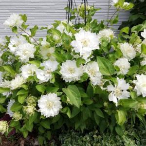 クレマチス「雪おこし」生育記録/今年はすごいよ!咲き乱れております。