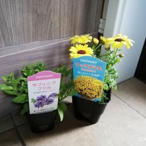 小さな庭づくり♪/鉢植えで気分上々!マックスマム&サフィニアフリル初購入しました☆