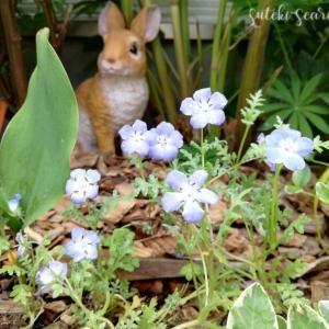 ネモフィラ生育記録/こぼれ種で咲いてくれた♪ 爽やかブルーの贈り物。
