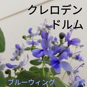 クレロデンドルム生育記録/蝶そっくりの花!一年半を振り返り~。