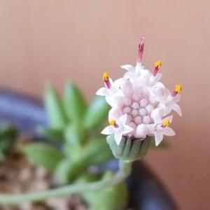 次々に花芽の三日月ネックレス
