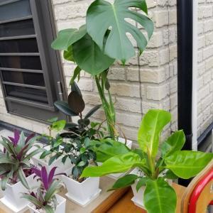 外へ出したい観葉植物