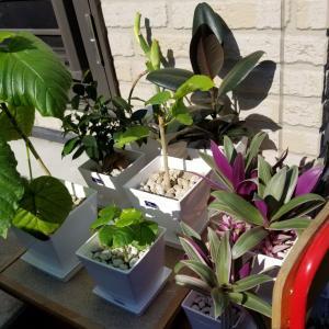 外出し観葉植物の再考