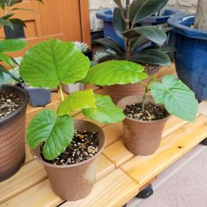 ウンベラータの葉っぱの大きさ考察