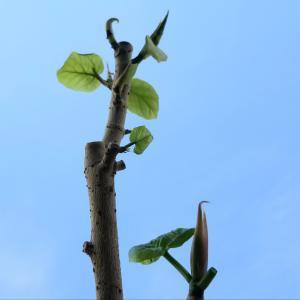 挿し木ウンベラータも植え込む