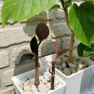 挿し木ゴムの木を植え込む