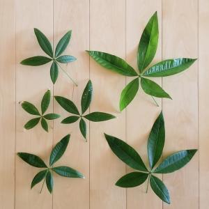 パキラの新芽が巨大化するのはなぜ?