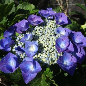 紫陽花は雨が似合いますね~