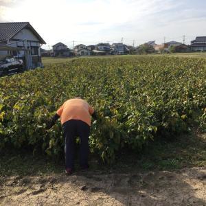 栄養ありすぎた大豆畑の土