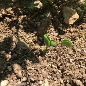 大豆が芽を出しました〜