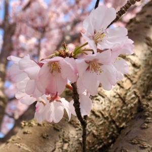 そっと咲く桜の花びら