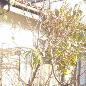 Branch lopping ( Peach )[Nov. 2019] { Haiku }