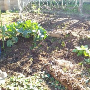 Kikuimo (Jerusalem artichoke) Field After the Harvest