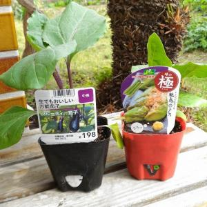 Plant the Seedlings of eggplant and bell pepper again ( Apr. 2020 )