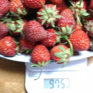 Today's Harvest ( Strawberry - 23) / [ May. 2020 ]