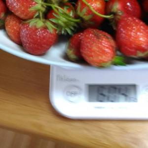Today's Harvest ( Strawberry - 24) / [ May. 2020 ]