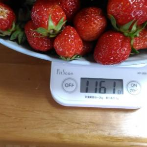Today's Harvest ( Strawberry - 25) / [ May. 2020 ]