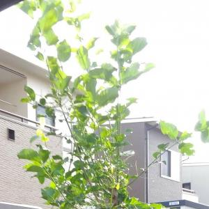 Branch lopping (Spindle tree, Mayumi : まゆみ )( May. 2020 )