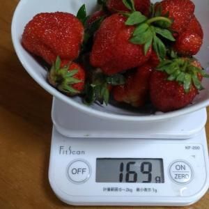 Today's Harvest ( Strawberry - 45 ) / [ May. 2020 ]