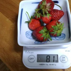 Today's Harvest ( Strawberry - 47 ) / [ May. 2020 ]