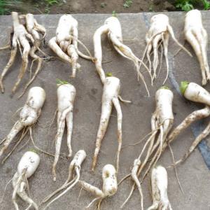 Today's Harvest ( Radish - 8 ) / [ May. 2020 ]