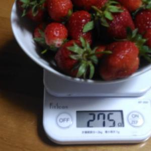 Today's Harvest ( Strawberry - 48 ) / [ Jun. 2020 ]