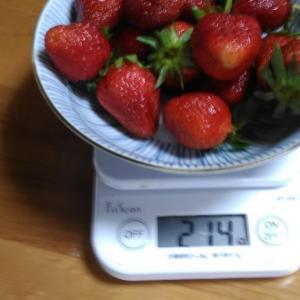 Today's Harvest ( Strawberry - 49 ) / [ Jun. 2020 ]