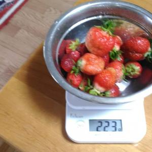 Today's Harvest ( Strawberry - 61 ) / [ Jun. 2020 ]