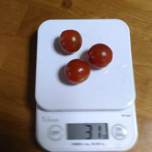 Today's Harvest ( Mini Tomato - 3 ) / [ Jun. 2020 ]
