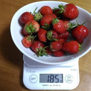 Today's Harvest ( Strawberry - 63 ) / [ Jun. 2020 ]