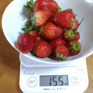 Today's Harvest ( Strawberry - 64 ) / [ Jun. 2020 ]