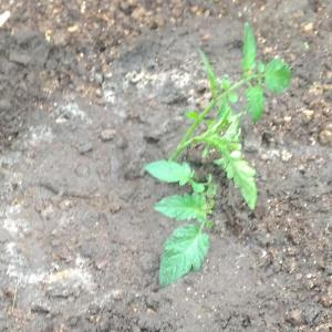 Planting two side buds of the mini tomato ( Jun. 2020 )